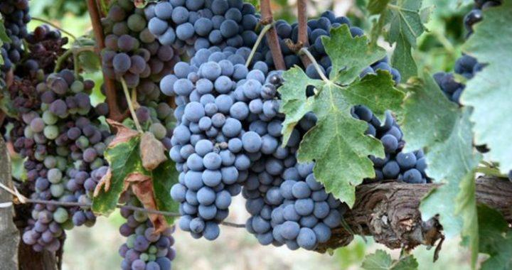 Vite d'uva sangiovese